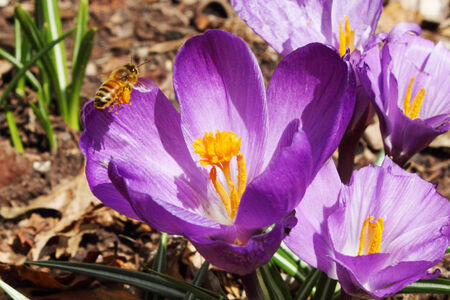 honey bee pollination purple crocus spring flower closeup