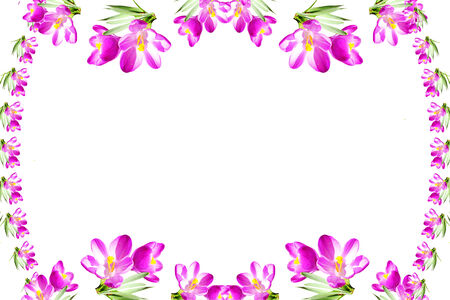 pink crocus spring flower texture  white background
