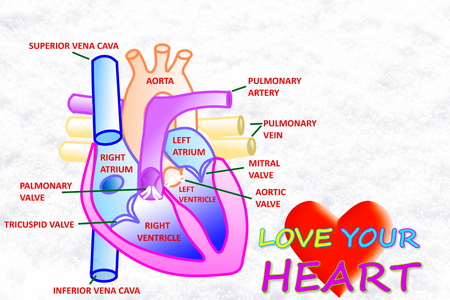 ventricle: love your heart words with heart in  snow white background Stock Photo