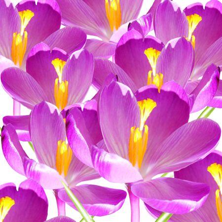 petal: crocus flower petal closeup as background Stock Photo