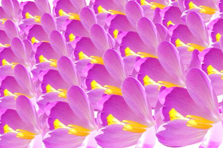 crocus flower petal closeup as background Standard-Bild