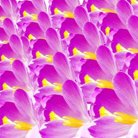 crocus: crocus flower petal closeup as background Stock Photo