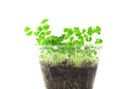 seed plant: sprouting chia seed plant in pure white background