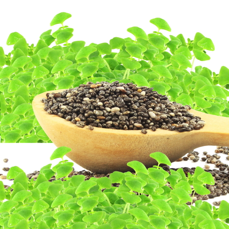 chia seeds in wooden spoon with sprouted chia plant