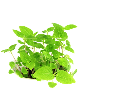seed plant: chia seed plant in pure white background Stock Photo