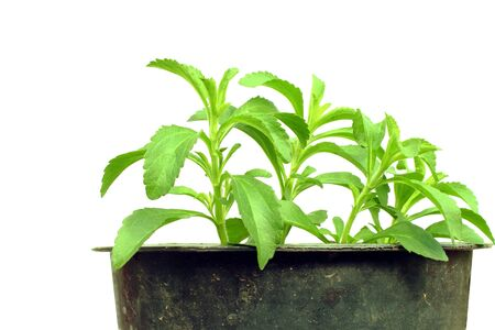 steviol: stevia herb in container and pure white background