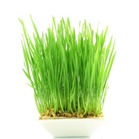 cultivo de trigo: hierba de trigo fresca brot� en el fondo blanco