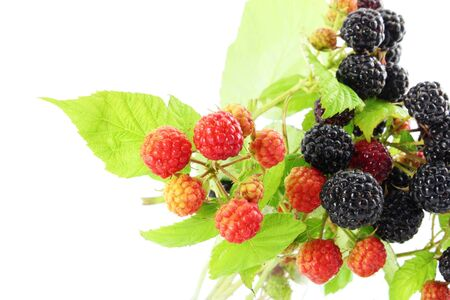 red and black wild raspberry fruit closeup in white background