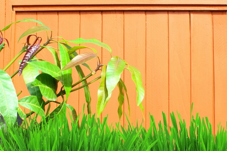 de focused: wooden background with mango leaves and grass