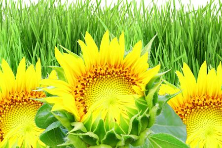 de focused: sun flower and grass field background Stock Photo