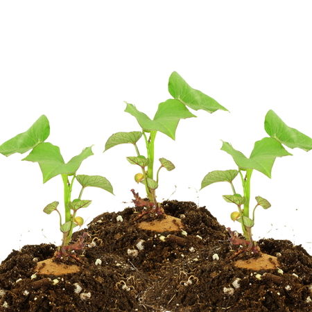 Germinated growing sweet  potato with shoots on white background