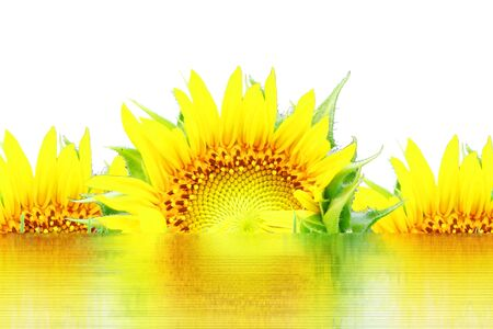 reflection in water: sun flower blossom water reflection in white background