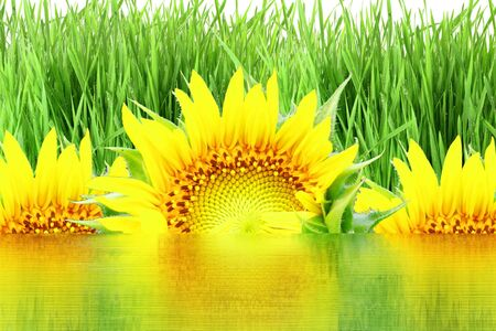 de focused: sun flower and grass field with water reflection background
