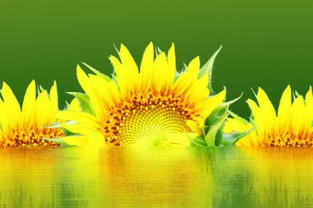 reflection in water: sun flower with water reflection in green background Stock Photo