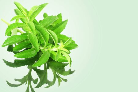steviol: stevia sugar substitute herbs with shadow in green background Stock Photo