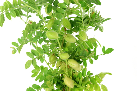 chickpeas green young plant with pod on pure white background