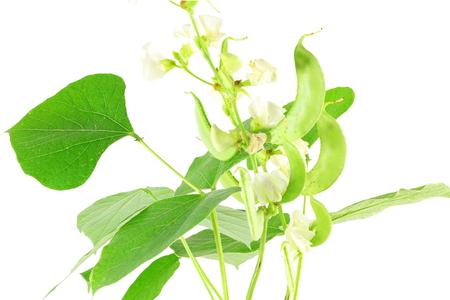 Hyacinth bean valor or indian papdi beans on white background