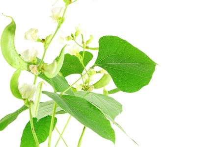 valor: Hyacinth bean valor or indian papdi beans on white background