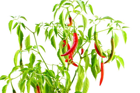 red chili pepper: red  chili pepper on plant