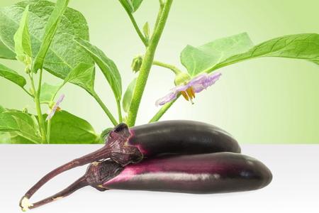 aubergine: fresh eggplant or aubergine bringal