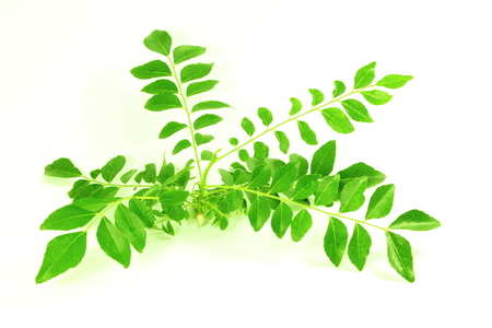 fresh curry leaves or curry patta herb closeup on white background Standard-Bild