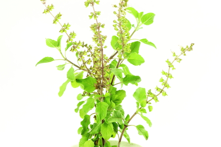 basil: Medicinal tulsi or holy basil indian herb on white background