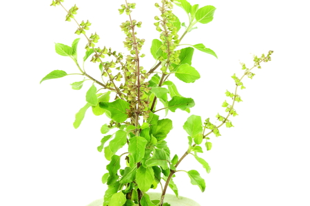 tulsi: Medicinal tulsi or holy basil indian herb on white background