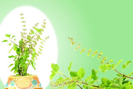 albahaca: Tulsi medicinal o santa albahaca hierba indio en el fondo blanco