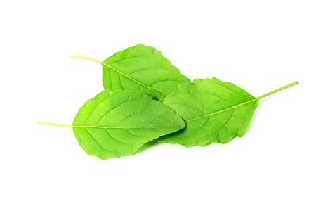green vegetable: Medicinal tulsi or holy basil indian herb on white background