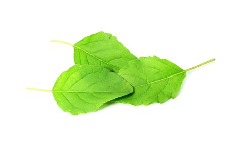 l�gumes verts: Tulsi m�dicinal ou basilic sacr� herbe indienne sur fond blanc