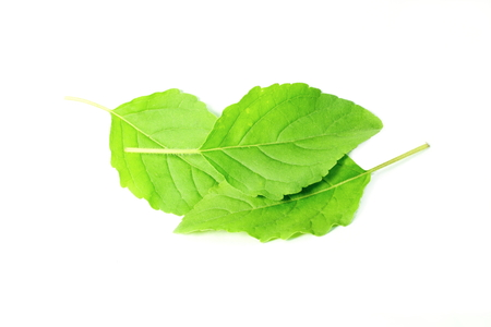 raw tea: Medicinal tulsi or holy basil indian herb on white background