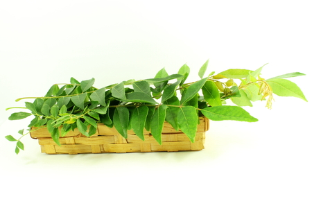antidiabetic: fresh curry leaves or curry patta herb on white background