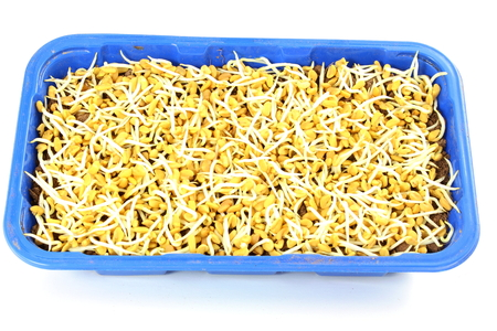 antidiabetic: sprouted Fenugreek ready for planting or salad in plastic container Stock Photo