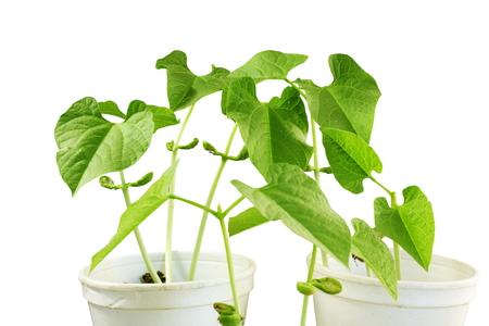 planta de frijol: germinadas creciente de brotes de pequeña planta de frijol en vidrio