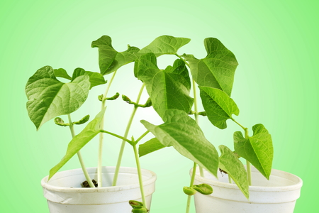 bean plant: sprouted growing small bean plant sprouts in glass