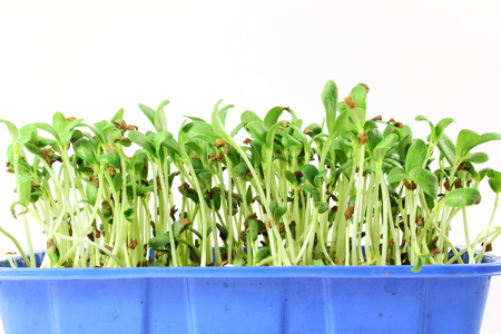 fenugreek sprout growing plant in container Stock Photo