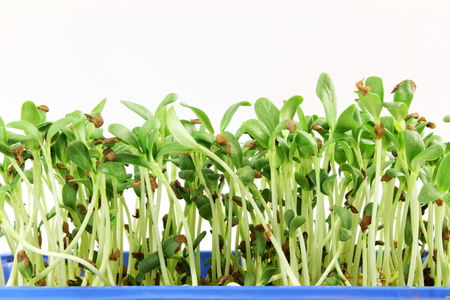 antidiabetic: fenugreek sprout growing plant in container Stock Photo
