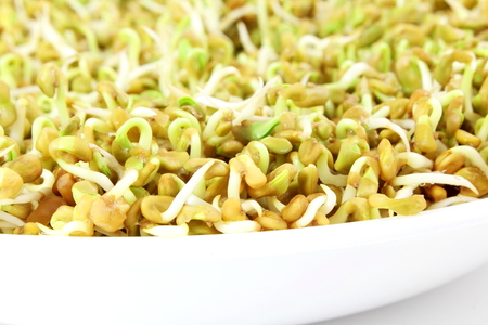 sprouted Fenugreek ready for planting or salad closeup