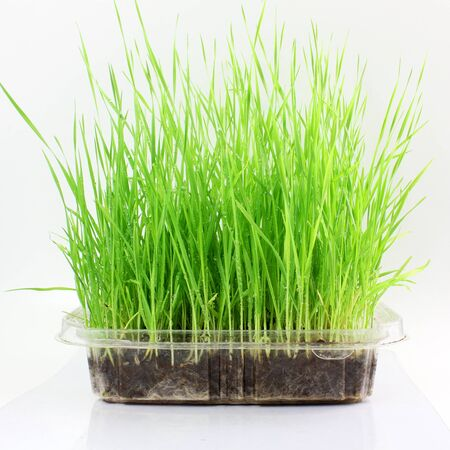 sprouted: fresh sprouted wheat grass with water drops in white background