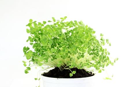 hispanica: chia seeds Salvia hispanica plant newly sprouting growing