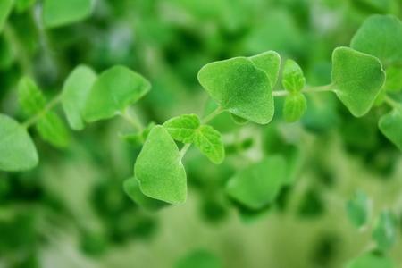 chia seeds Salvia hispanica plant newly sprouting growing closeup