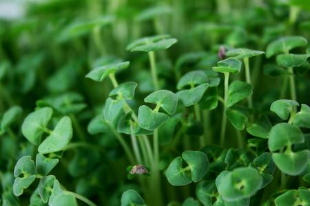 hispanica: chia seeds Salvia hispanica plant newly sprouting growing closeup