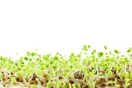 salvia hispanica: chia seeds Salvia hispanica plant newly sprouting growing closeup