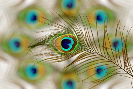 peacock feathers in blurs background with text copy space