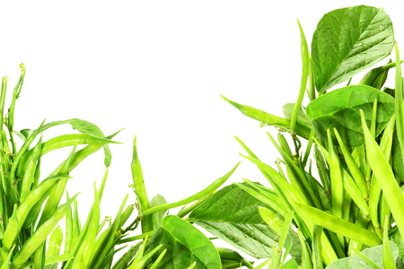 fresh cluster bean or guar sing indian vegetable in white background