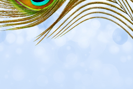 peacock feathers in sky blue background with text copy space