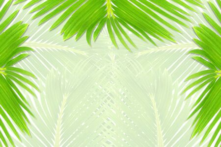 bluer: green palm coconut  tree leaves texture on bluer background with text copy space