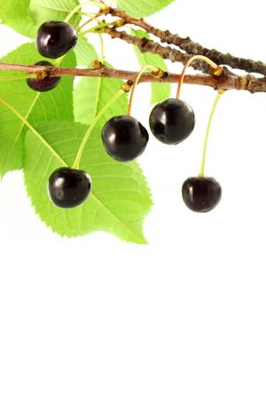 cherry fruit on plant or tree
