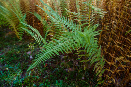 Colored ferns in the autumn forest