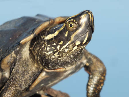 baby turtle: Baby Turtle Head-up on the rock